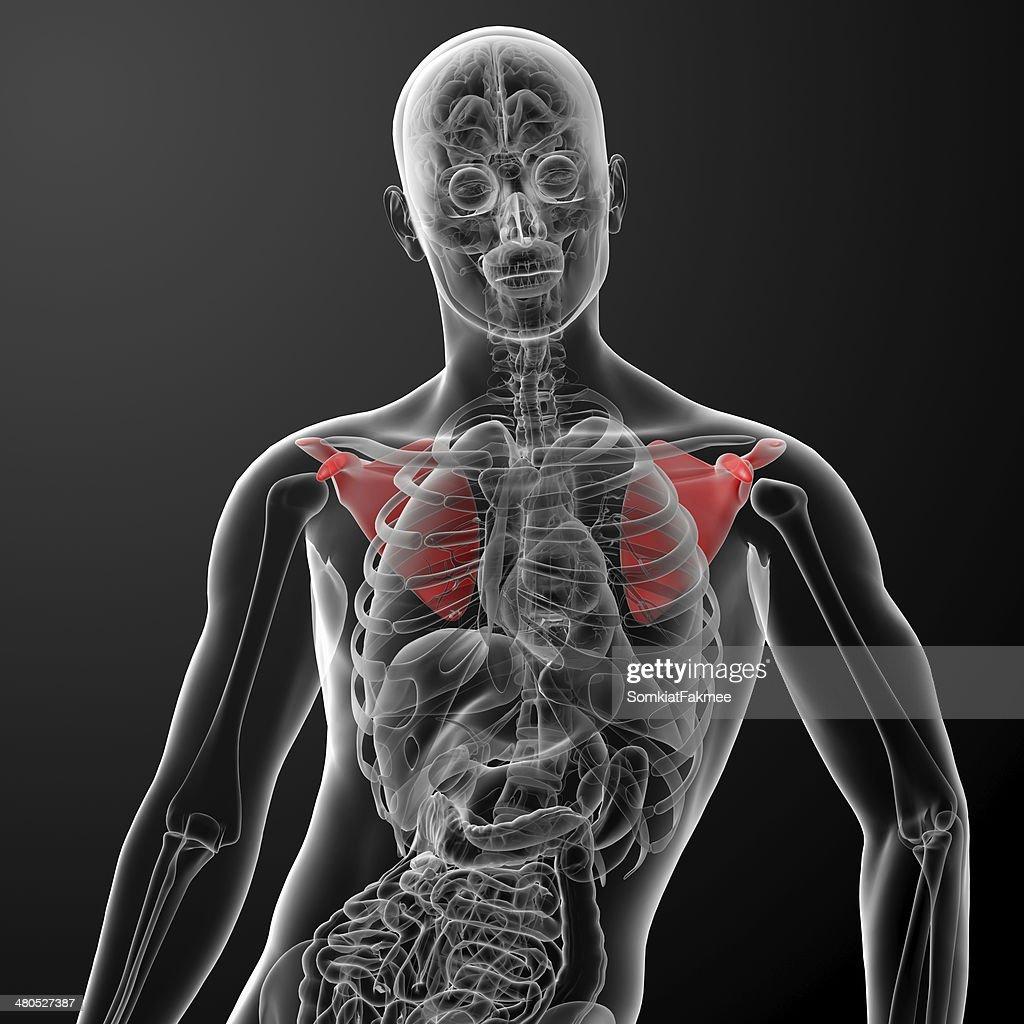 3 d render illustration Schulterblatt bone : Stock-Foto