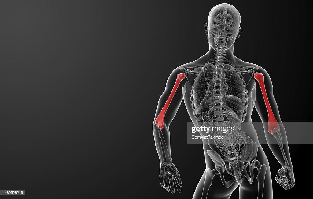 3 d レンダリングされた上腕骨骨 : ストックフォト