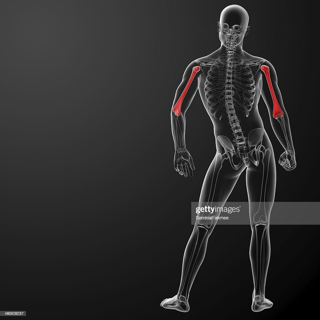 3d rendered humerus bone : Stock Photo