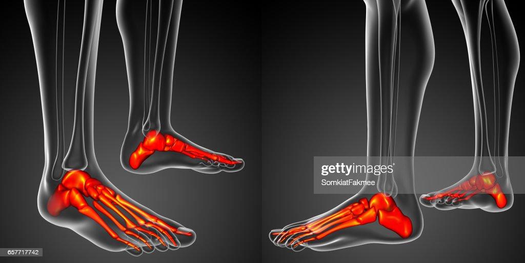 3d Rendering Illustration Of The Foot Bone Anatomy Stock Photo ...