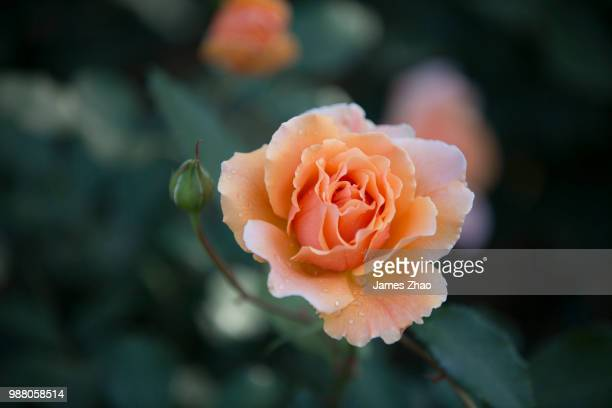 3h6a9641.jpg - peach flower stockfoto's en -beelden