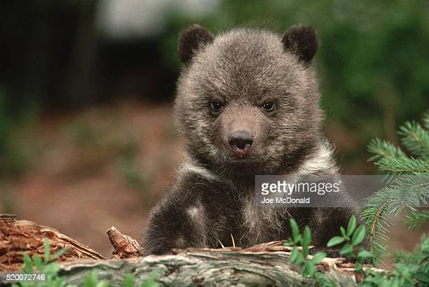 3-month-old grizzly bear - cub stock pictures, royalty-free photos & images
