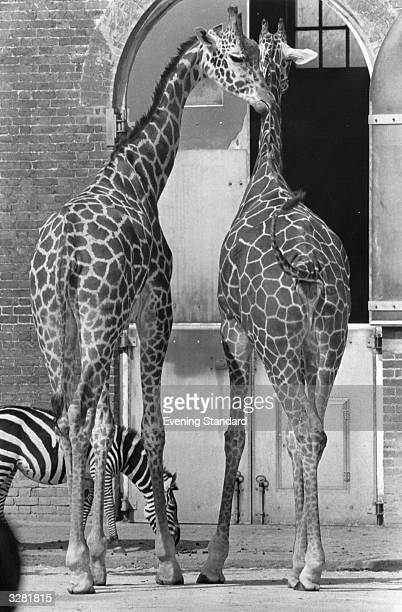 Two giraffes and a zebra enjoy each other's company at London Zoo