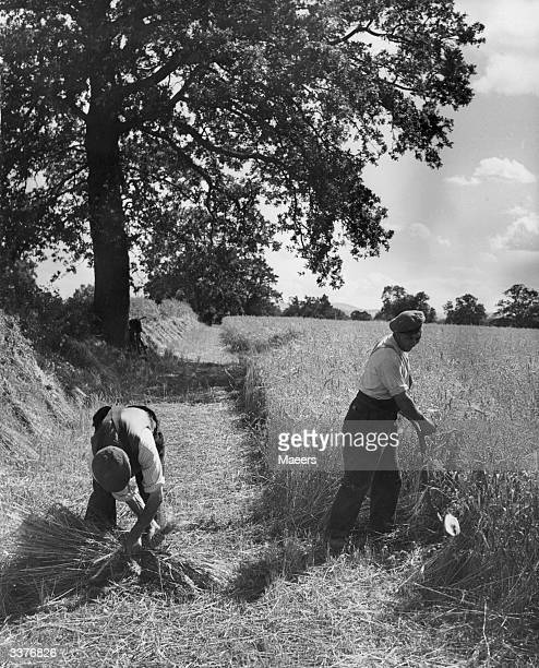 Farmers in Bicton near Shrewsbury Shropshire scything and collecting oats in a field by hand to clear a path for the reaping machine which will...