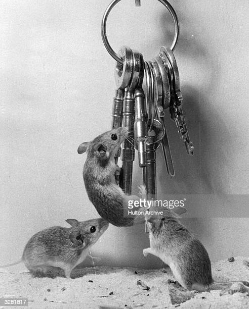 Three pygmy mice scale their keeper's set of keys at London Zoo