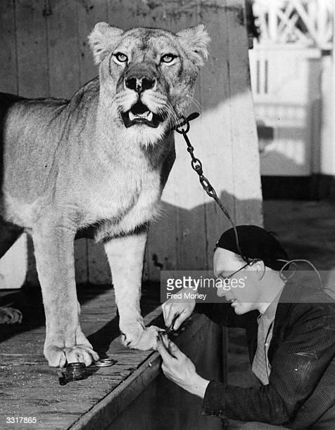 Mr Smith of Southend clips the claws of his pet lioness a task he performs regularly He never uses chloroform although some would find this necessary...