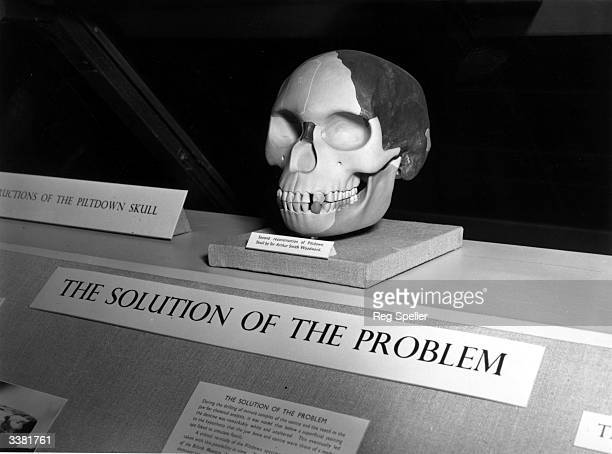 A reconstruction of the famous Piltdown Skull on display in the Natural History Museum London Accepted as evidence of the 'missing link' between ape...