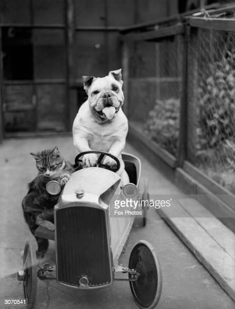 Cat and a bulldog in a toy car.