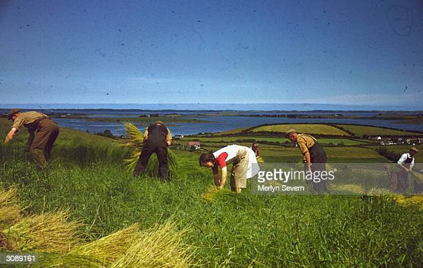 Agricultural workers harvesting the flax to make linen at Killinchy in County Down, Northern Ireland. Original Publication: Picture Post - 4584 -...