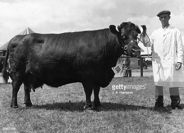 Champion Lincoln Red cow, Mr C L Bembridge's 'Anwick Hannah'. Seen at a Royal Show organised by the Royal Agricultural Society of England.