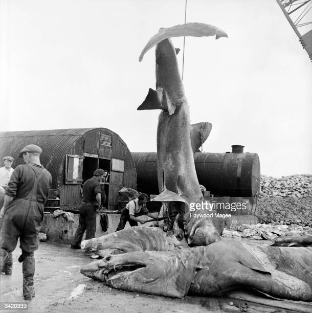 Dead sharks at an oil factory in Keel They were originally caught from the waters in Keem Bay off Achill Island County Mayo Ireland Original...