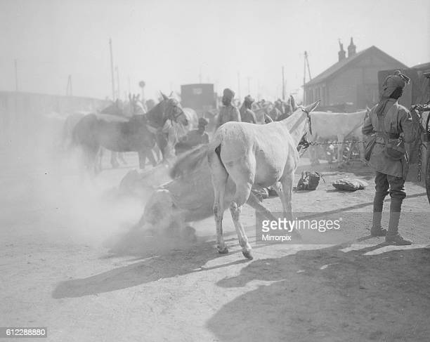3rd Lahore Indian Division Circa October 1914 Whenever the mules which carry the Indian mountain guns and ammuntion see any sand or mud or dust...