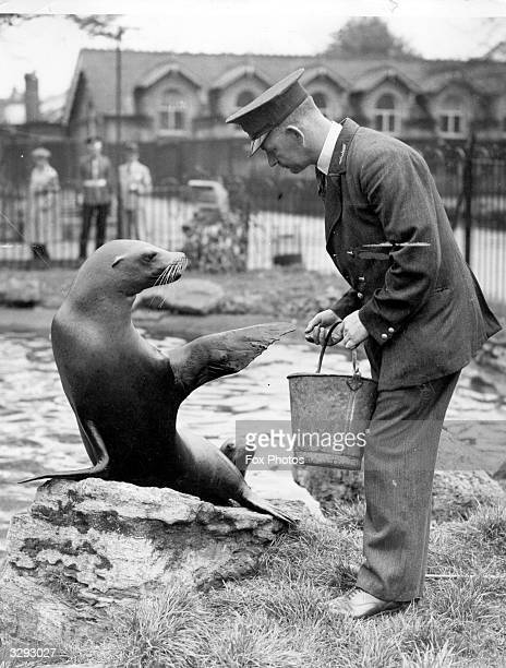 Jim the sea lion at London Zoo raises a flipper to greet the zoo keeper bringing him his fish meal in a bucket