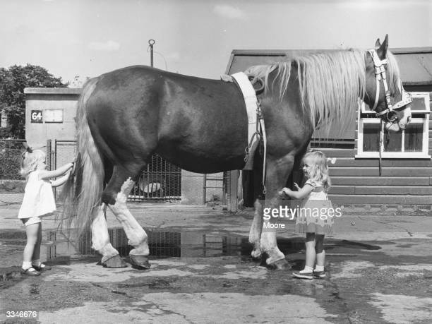 Two year old Lynne Thompson and Kim Graye grooming Goldie the shire horse at Chessington Zoo