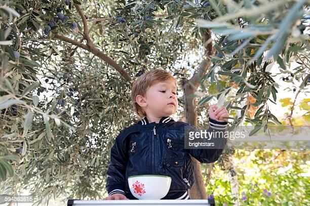 3-year-old boy picking olives