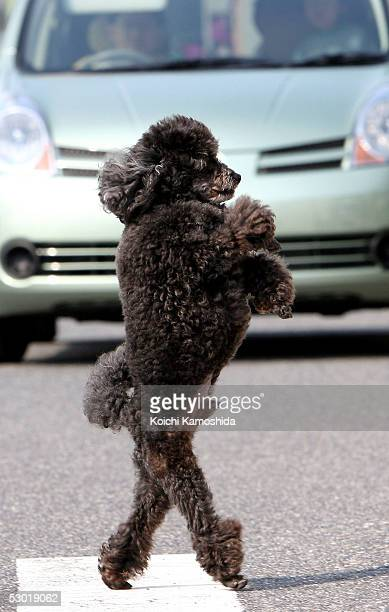 A 3yearold male toy Poodle named Pluto crosses a street by walking on his hind legs on June 4 2005 in Mie Prefecture Japan The dog is able to walk...