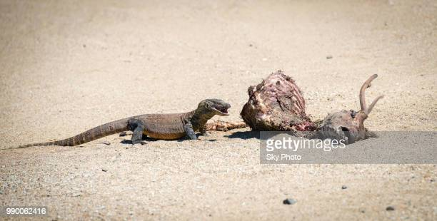 3-years comodo dragon's cub eats deer - squamata stock photos and pictures