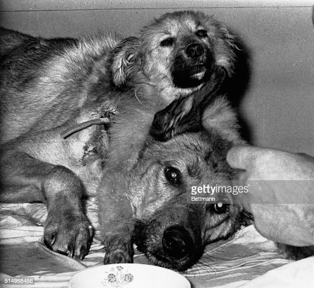 4/15/1959Moscow USSR A twoheaded dog created by Soviet scientist Dr Vladimir Demikhov in a transplanting experiment is shown being fed by...