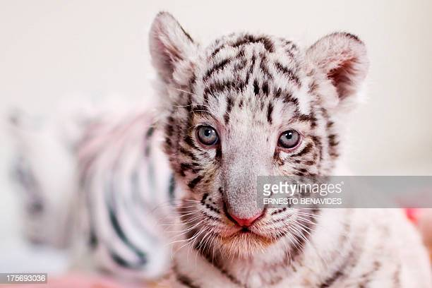 A 42dayold white bengal tiger cub the first of its kind born in Peru is presented at the Huachipa's zoo in Lima on August 6 2013 AFP PHOTO/ERNESTO...