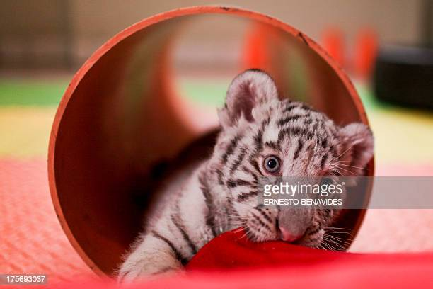 Day-old white bengal tiger cub, the first of its kind born in Peru, is presented at the Huachipa's zoo in Lima on August 6, 2013. AFP PHOTO/ERNESTO...