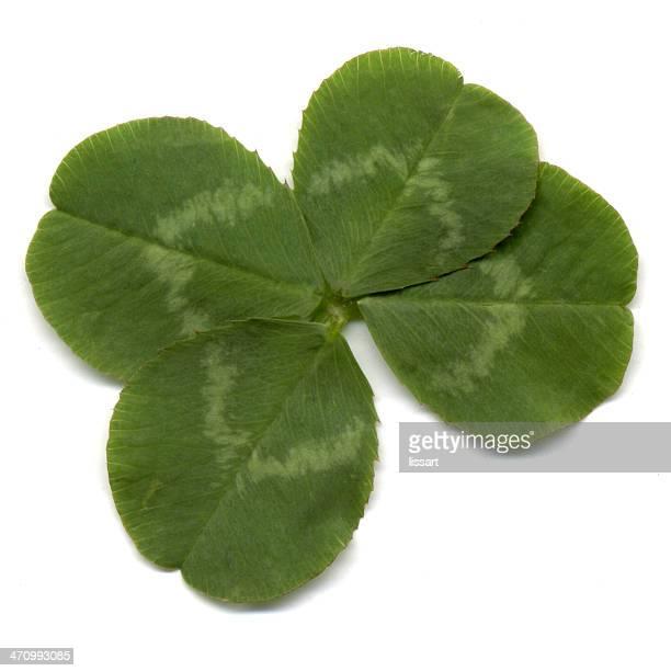 große vier-kleeblatt - 4 leaf clover stock-fotos und bilder