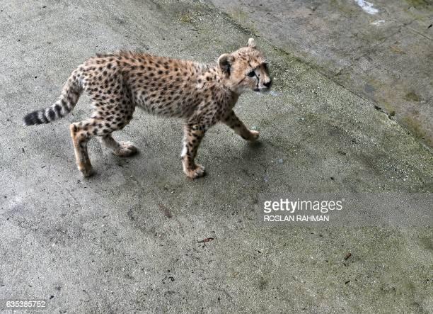 Months old cheetah cub is seen in its enclosure at Wildlife Reserves Singapore zoo on February 15, 2017. Jurong Bird Park, Night Safari, River Safari...