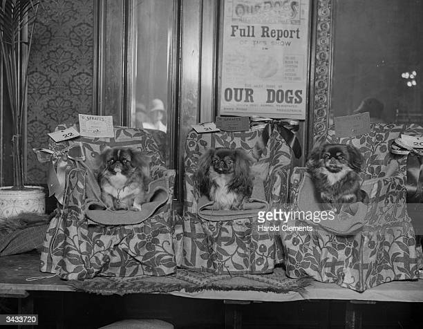 Three Pekinese dogs winners of the 1st prize at the Sleeve Dog Association Ribbon Show being exhibited in easy chairs at the Prince's Hotel London...