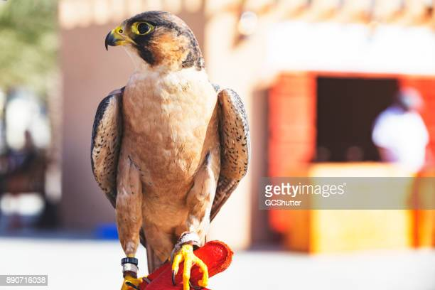 4th international festival of falconry, abu dhabi, uae - falcon bird stock photos and pictures
