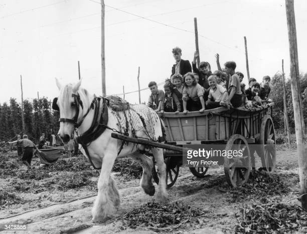 Hoppicker's children enjoy a ride in a horse and cart while their parents are busy picking hops at Beltring Farm Kent