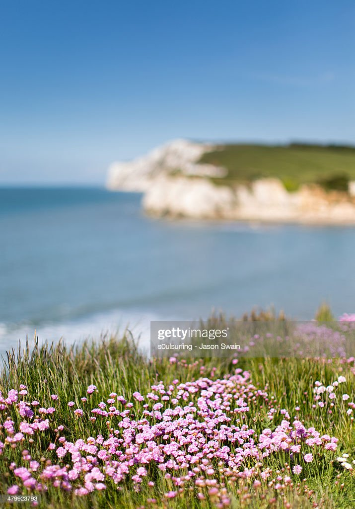 50mm of Freshwater Bay Pinks : Stock Photo