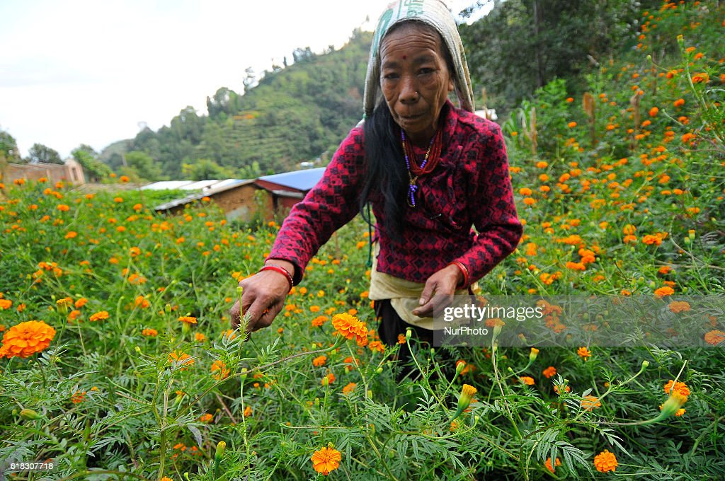 TAMANG, 53yrs old picking marigold flower for the upcoming Tihar Festival or festival of lights and festival of flowers at Kathmandu, Nepal on Wednesday, October 26, 2016. Since from past 18yrs she used to sell flower for the Tihar Festival Celebration. She used to earn NRs. 1,000-2,000 (US$ 10-20) during festival seasons.