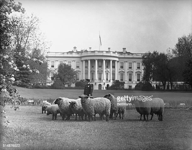 Washington, DC: Sheep Grazing on the Whit House Lawn.