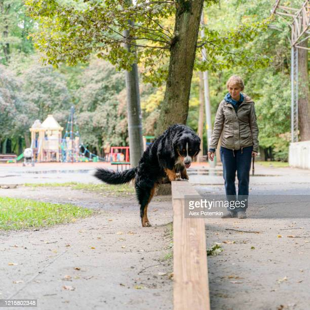55-years-old attractive woman walking and training a dog, zennenhund - belgian mountain dog, in a park. - 55 59 years stock pictures, royalty-free photos & images