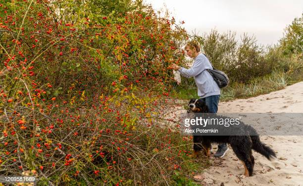 55-years-old mature active, attractive woman picking berries of wild dogrose from bushes on the baltic seashore. - 55 59 years stock pictures, royalty-free photos & images