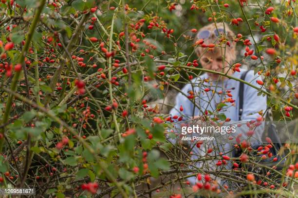 55-years-old mature active, attractive woman picking berries of wild dogrose from bushes on the baltic seashore. focus on the branches in the foreground, the woman is blurred in the backdrop. - 55 59 years stock pictures, royalty-free photos & images
