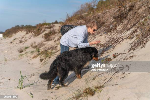 55-years-old mature active, attractive woman walking her big dog, zennenhund, on a sandy beach of the baltic sea in the sunny autumn day. - 55 59 years stock pictures, royalty-free photos & images