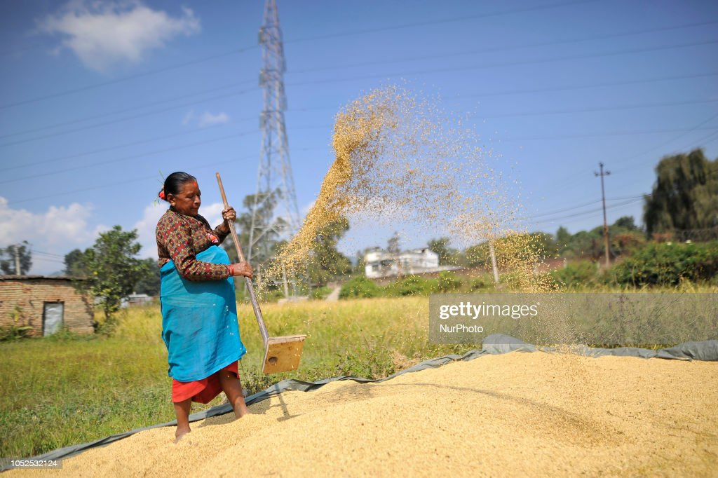 Rice Crops Harvesting in Nepal : News Photo