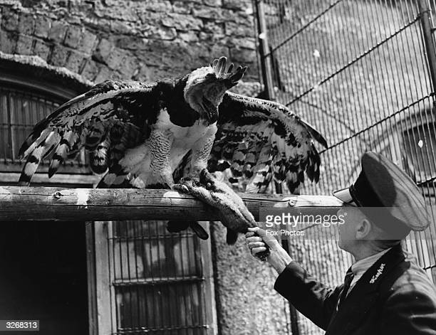 A Harpy eagle is offered a dead rabbit for lunch by a zoo keeper He will only eat food brought by Mr Lambden and any other keeper is shooed away