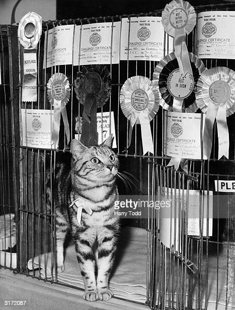 Elvaston Silver Mist stands in the door of his cage at Olympia where he is taking part in the Cat Show A fouryearold silver tabby owned by Mrs E...