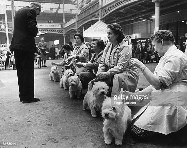 Judge inspecting the entrants in the West Highland White Terrier class during the Cruft's Dog Show.