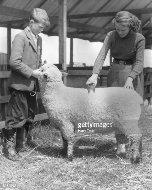 Joyce Braithwaite trimming a Shropshire shearing ram held by her brother Kenneth at their farm in Sand Hutton near York in preparation for the Royal...