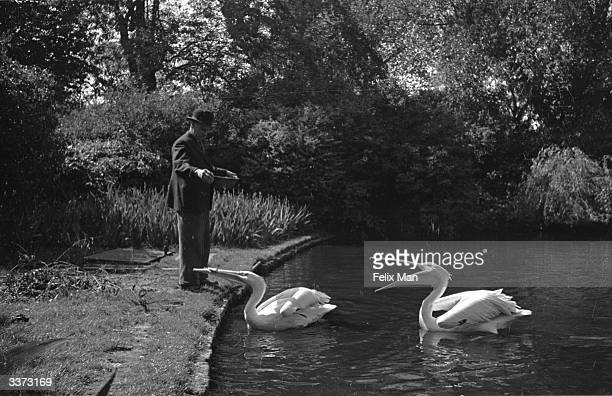 A pair of resident pelicans being fed in St James' park central London Original Publication Picture Post 1453 Deep In The Heart Of London pub 1943