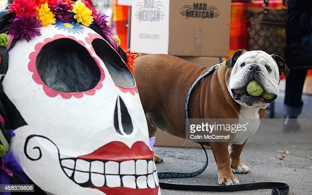 5yr old BulldogSam Houston isnt impressed with the scary mask with the teeth because it cant hold three tennis balls in its mouth like Sam Dia de los...