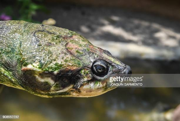 A 60yearold river turtle of the endangered species Podocnemis Lewyana native to Colombia is seen at a turtle farm in Puerto Triunfo Antioquia...