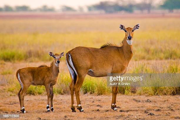 6101-nilgai with calf - nilgai stock photos and pictures