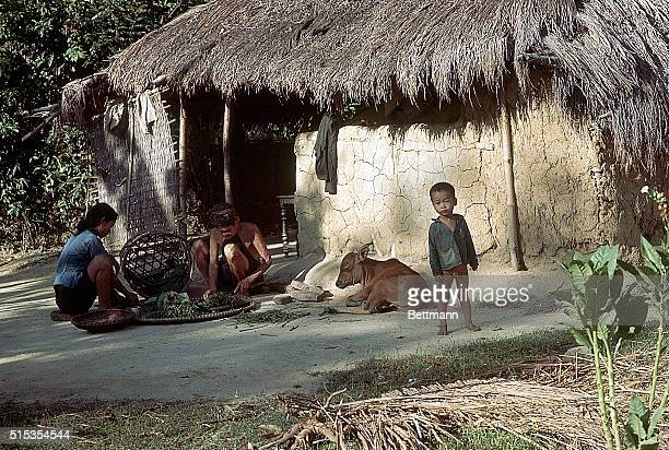 6/16/1967Near Da Nang South Vietnam Vietnamese villagers outside their hut A man and woman process food a young boy stands beside a resting cow