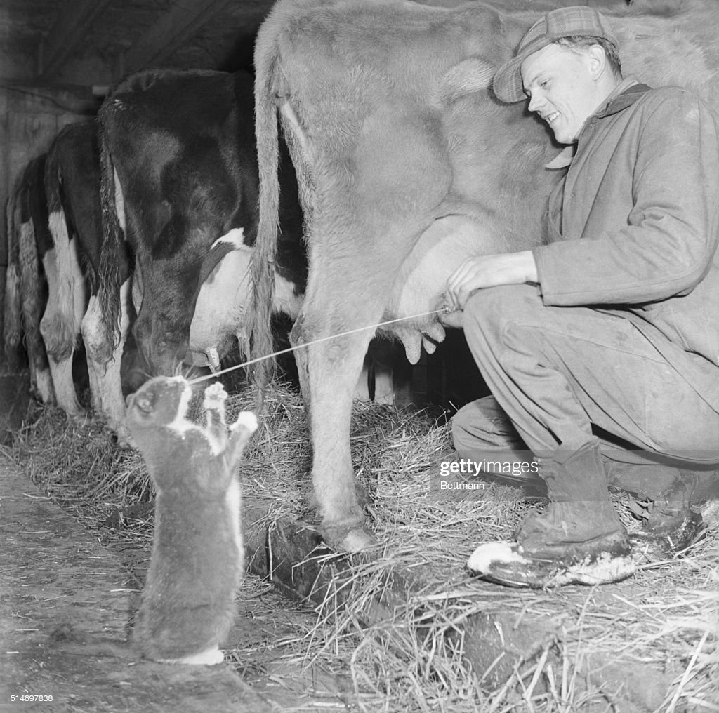 Robert Carlson, Farmer near Hillside is always sure of one customer for his cow's milk. That's 'Captain' black and white cat that meets him at the barn door and sets up her own private receiving station while Mr. Carlson milks.