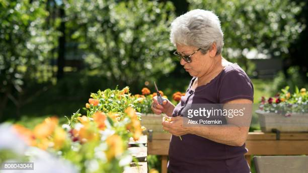 65-years-old active senior silver haired woman gardening at the backyard - 65 69 years stock pictures, royalty-free photos & images