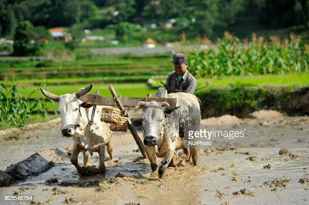 65yrs old RATNA BAHADUR NAGARKOTI plowing paddy field using ox for the rice plantation during the celebration of National Paddy Day quotASHAD 15quot...