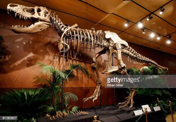 A 66millionyearold Tyrannosaurus rex skeleton dubbed Samson is displayed at the Venetian Resort Hotel Casino September 30 2009 in Las Vegas Nevada...